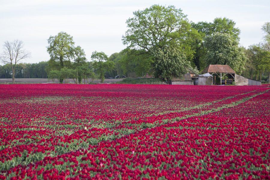 Tulpen / tulips