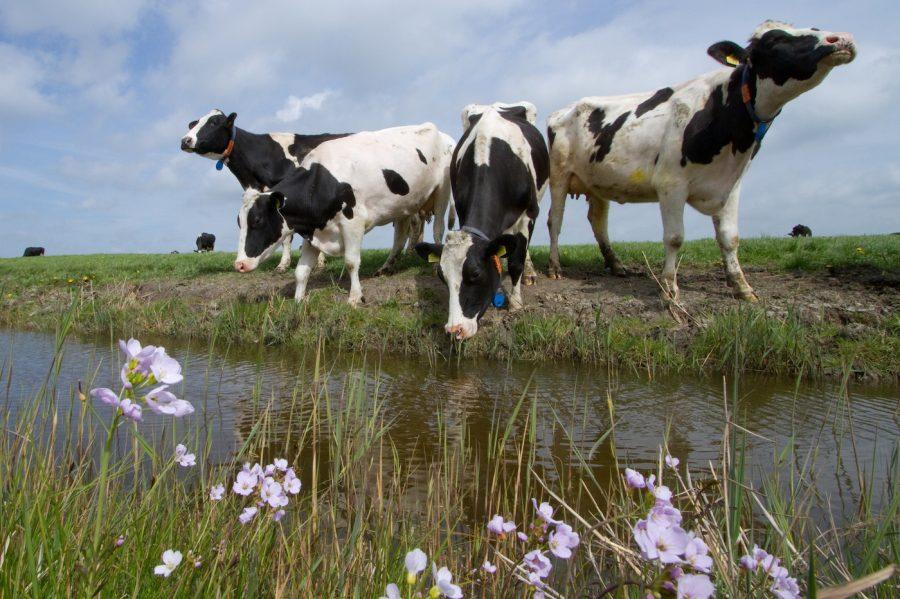 Koeien in Friesland
